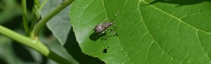 brown-marmorated-stink-bug-2513559_1920